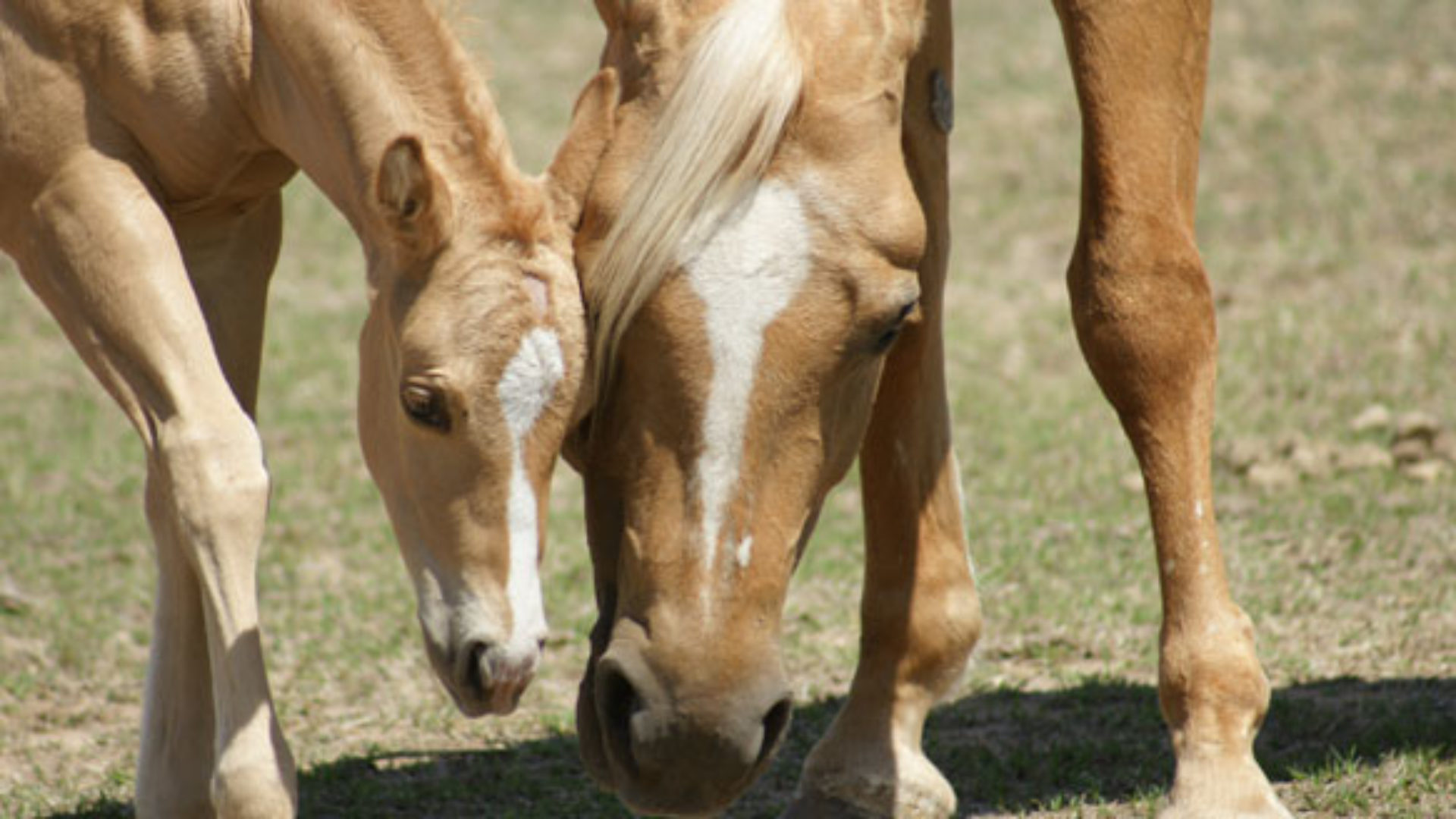 Palomino Horse Breeders Association